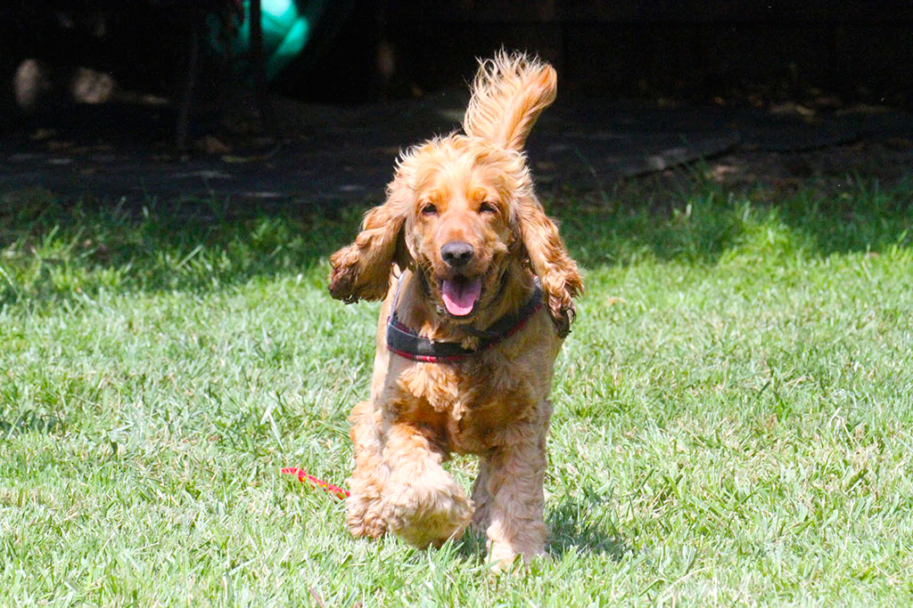 Dog running at outside at dog daycare In Zurich