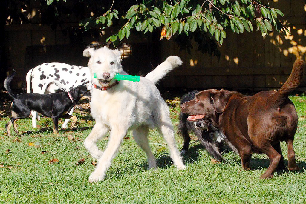 Dogs playing in outside play area at Zurich daycare