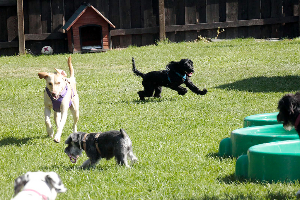 Dogs running at outdoor play yard at daycare in Zurich