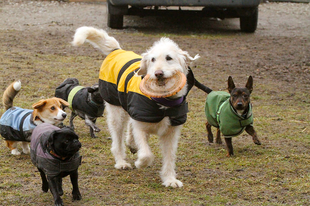 Dogs playing in coats at Zurich outdoor dog daycare